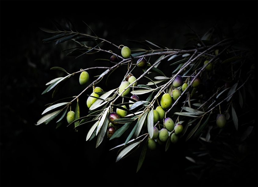 Olive branches at night
