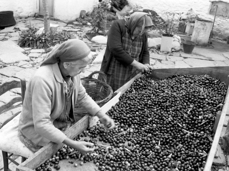 Karatzios family picking olives